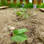 dornadorn-plante